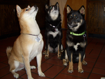 Secret, Snickers and Murphy in the kitchen