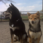 Penny and Snickers at the dog park