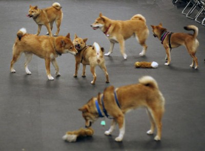 shibas at play