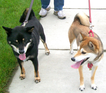 Shay and Snick on a walk