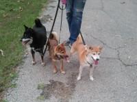 Three Shibas at the park