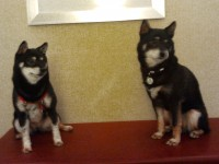 Emmie & Snickers hanging out at the hotel in New York City