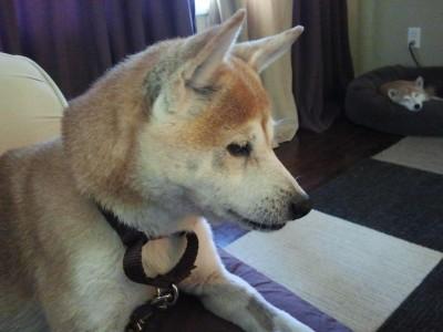 Sasha, a red female Shiba Inu