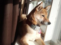 Zuki wearing her Tagg Pet Tracker unit
