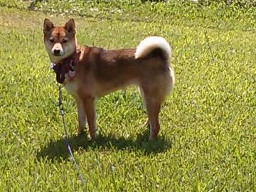 Zuki enjoying the yard safe on her cable