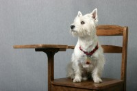 Terrier in School